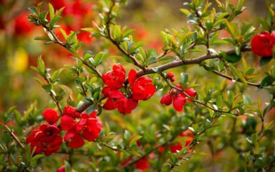 природа, макро, весна, айва, цветение, дерево, branch, цветов, бутоны, cvety,