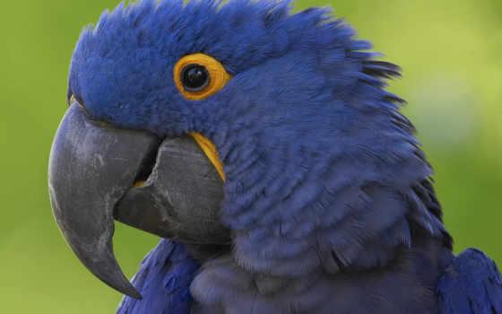 синий, попугай