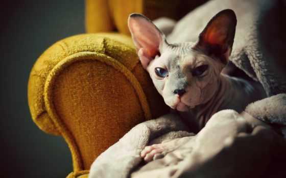 сфинкс, кот, взгляд
