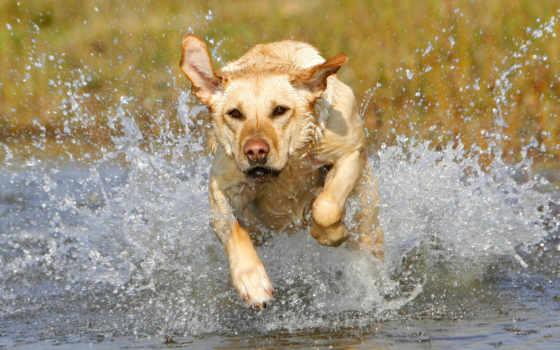 retriever, labrador, собак, щенок, прозорливый, pretty, золотистого, воде, ретривера, german, собака,