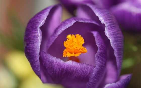 крокус, макро, часть, cvety, purple, цветы, browse, trick, весна, песок,