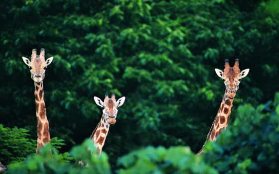 zhivotnye, животных, жирафы, жираф, cute, роботы, удивленные, definition,