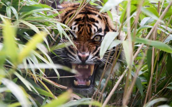тигр, animal, wild, indii, хищник, ipad, кот, забор, fang, danger, okazatsya