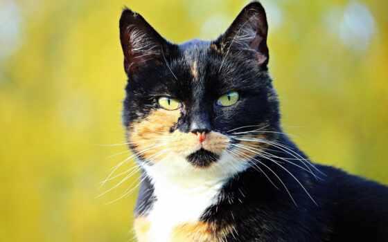 кот, gato, который, окрас, tricolor, animal, взгляд