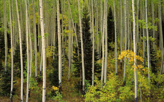 forest, duvar, aspen, grove, colorado, national, uncompahgre, islamic, yeni, kağıtları, nature, đẹp,