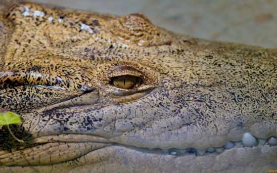 crocodile, июня, record