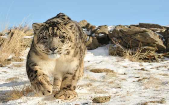 ирбис, леопард, снег