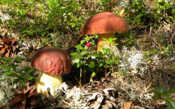 грибы, mushroom, white