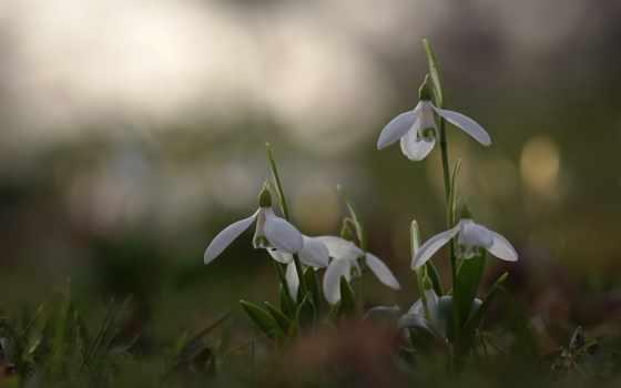 подснежники, cvety, первоцвет, весна, дек, снег, высокого,
