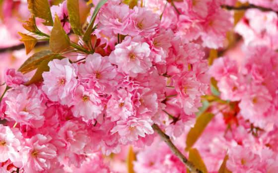 cvety, розовый, цв, flowers, лепестки, petals, растение,