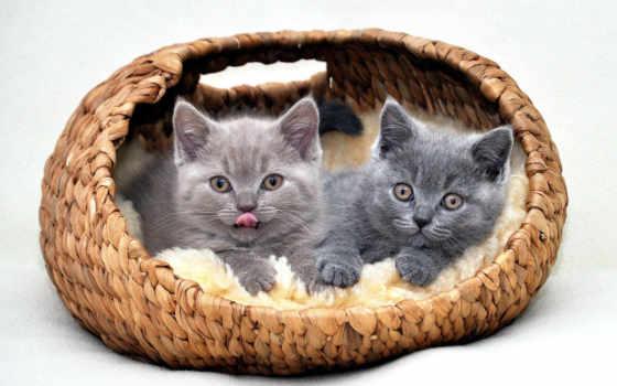 кот, pinterest, котенка, котята, ка, desktop, котенок, pin, британские,