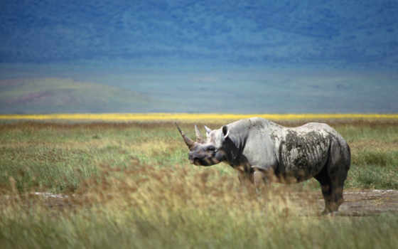 носорог, коллекция, rhino, природа, free, поле,