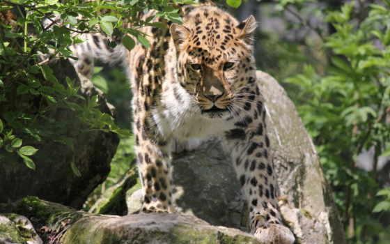 леопард, взгляд, морда Фон № 73271 разрешение 2560x1600