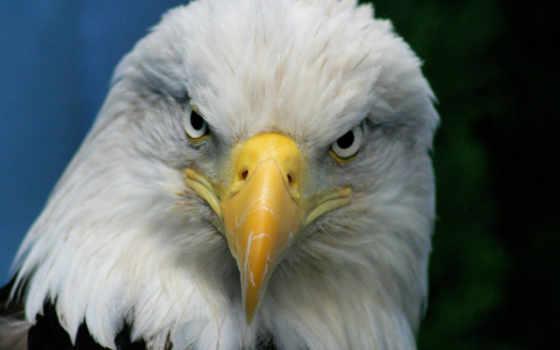animals, animales, орлан, primer, águilas, del, los, изображение, con,