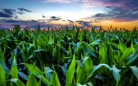 поле, кукурузное, кукурузном, небо, звездное, камаз, oblaka, об, прикол,