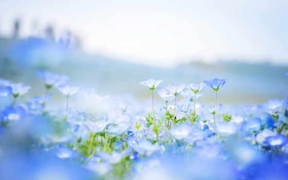 cvety, голубые, природа, лепестки, поле, размытость, парке, японском, цветов, немофилы, немофила,