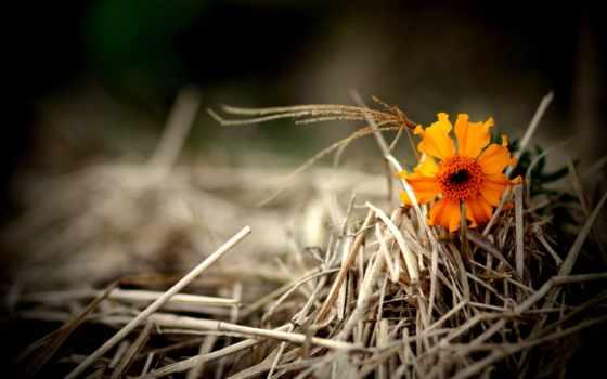 цветы, оранжевый, сено, cvety, поле, devushki, макро, ферма, солома,