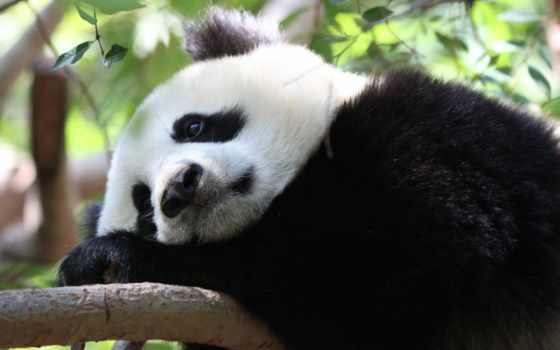 панда, животные
