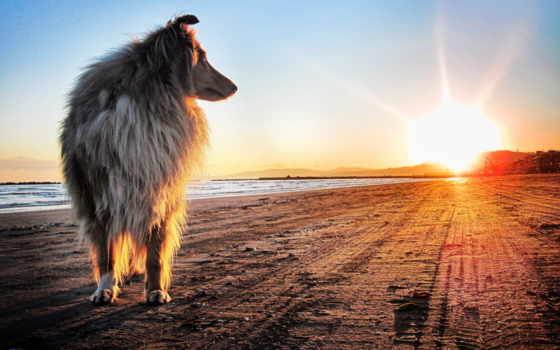 собака, sun, колли, берег, песок, собаки, закат,