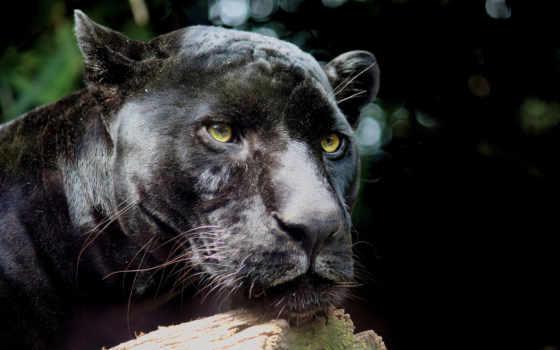 jaguar, кот, panther