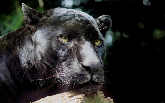 jaguar, кот, panther, black, морда, дикая,