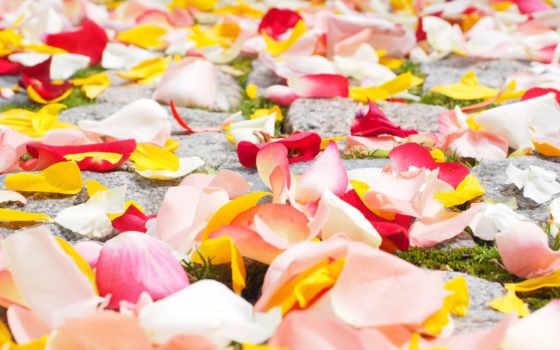 petals, роза, flowers