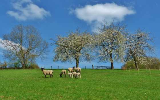 campo, parede, ovelhas, ovelha, papel, paisagem, árvores, fondos, imagens, paisaje,