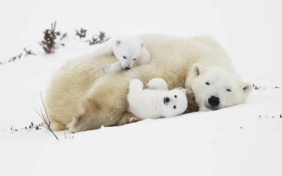 polar, bears, медведь, cubs, спать, free, animals,