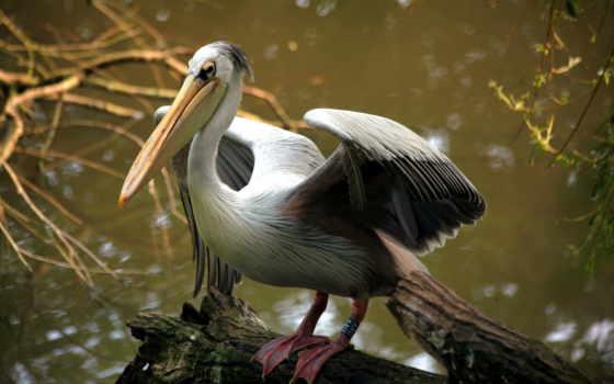 pelican, desktop, free