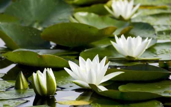 кувшинки, пруд, листья