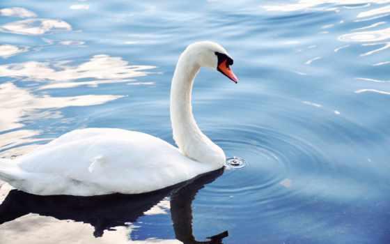 blanc, ecran, fond, fonds, cygne, eau, sur, oiseau, étang, télécharger, bureau,