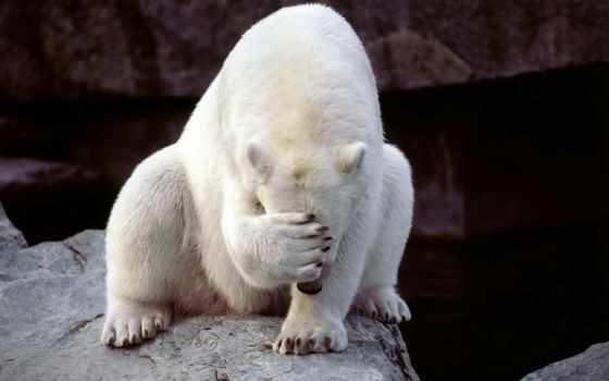 white, лапой, закрывает, медведь, морду, прикол, года, кот, gif,