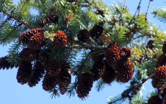 georgia, pine