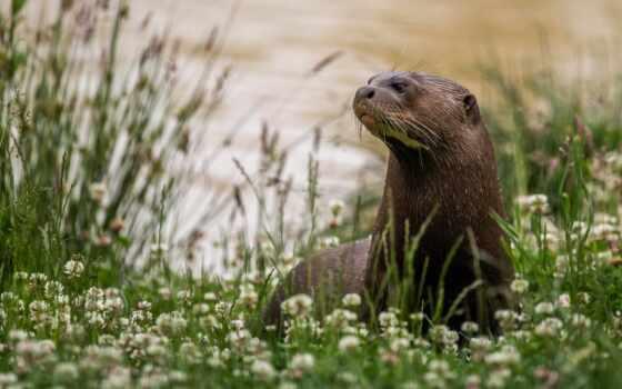 otter, цветы, река, трава, природа, clover, sit, keep