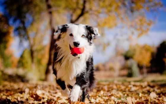 border, колли, собак, осень, листья, шерстью,