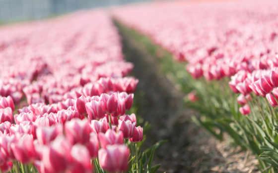 тюльпаны, цветы, тюльпан