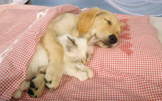 кот, labrador, собака