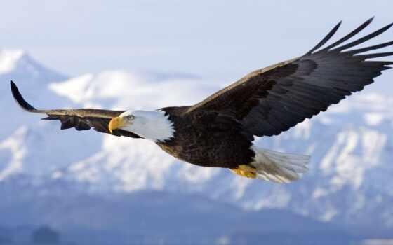 орлан, небо, wings
