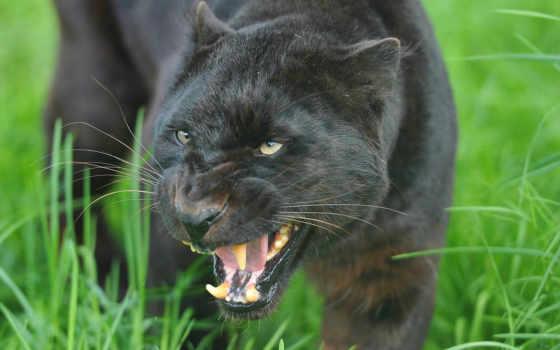 panther, морда, качестве