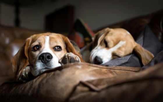 beagle, собаки, порода, гончие, диван, лежат, спят,