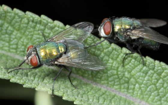 мухи, мух, fly, лапки, she, дизентерийная, амеба, зеленые, чаще, их, органы,