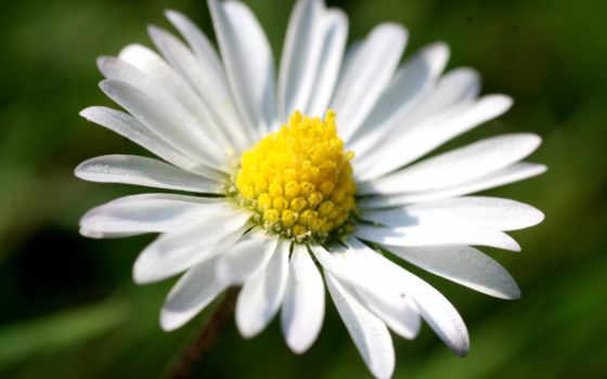 макро, ромашка, белый, желтый, зелёный, лепестки, flower, картинка,