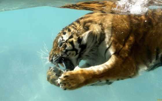 тигр, под, водой