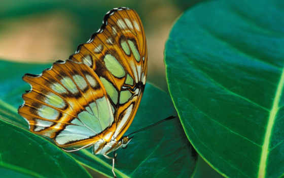 бабочки, насекомые, zhivotnye