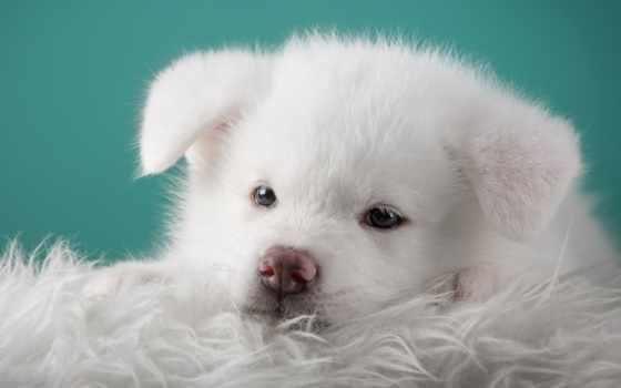 акита, white, песик, dogs, portrait, щенок,