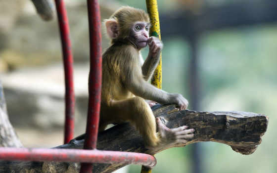 широкоформатные, обезьяна, они