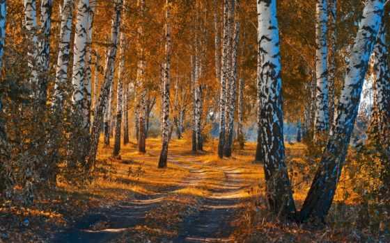 осень, березы, лес, природа, нояб, береза, дерево, бьех,
