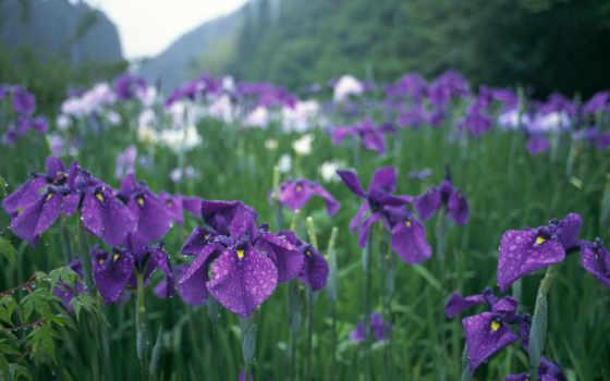 ирисы, cvety, фиолетовые,