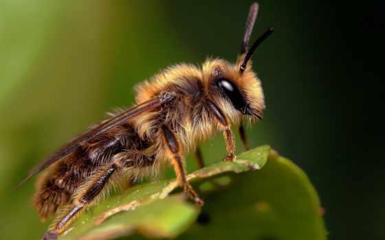 пчелка, пчелы, зеленом, листе, укусила, разных, они, разрешениях, сидит,