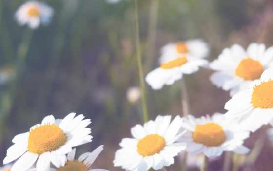flowers, cool, ромашки, cvety, одинокая, ромашка,